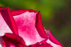 Nature Abstract: Lost in the Gentle Folds of the Delicate Rose Stock Photo