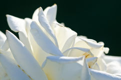 Nature Abstract: Lost in the Gentle Folds of the Delicate White Rose Royalty Free Stock Photos