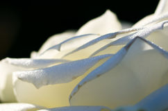 Nature Abstract: Lost in the Gentle Folds of the Delicate White Rose Royalty Free Stock Photography