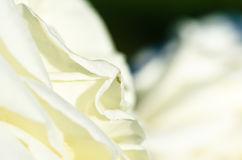 Nature Abstract: Lost in the Gentle Folds of the Delicate White Rose Royalty Free Stock Photo