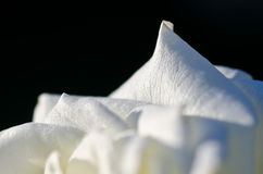 Nature Abstract: Lost in the Gentle Folds of the Delicate White Rose Stock Photo
