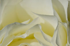Nature Abstract: Lost in the Gentle Folds of the Delicate White Rose Royalty Free Stock Image