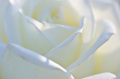 Nature Abstract: Lost in the Gentle Folds of the Delicate White Rose Royalty Free Stock Images