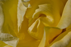 Nature Abstract: Lost in the Gentle Folds of the Delicate Yellow Rose Royalty Free Stock Image
