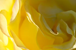 Nature Abstract: Lost in the Gentle Folds of the Delicate Yellow Rose Stock Image