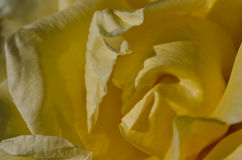 Nature Abstract: Lost in the Gentle Folds of the Delicate Yellow Rose Royalty Free Stock Images