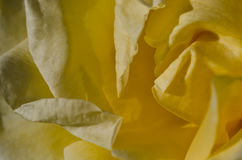 Nature Abstract: Lost in the Gentle Folds of the Delicate Yellow Rose Royalty Free Stock Photo