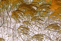 NATURE ABSTRACT- PAMPAS GRASS SWAYING IN WIND Stock Photography
