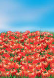 Nature abstract poster, Landscape. Many Red Tomatoes on Summer background. Digital Illustration of vegetable food, cooking. For Art, Print, Web design Royalty Free Stock Images