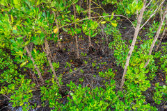 Nature of abundant mangrove and swamp forest Royalty Free Stock Photography