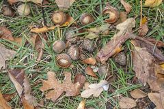 Acorns and fall leaves in the grass Autumn background royalty free stock images