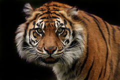 Nature Of Aggression. A critically endangered Sumatran Tiger growling and staring at the camera with a threatening glare Stock Image