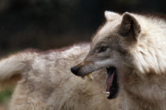 Nature Of Aggression. Closeup of a Timber Wolf snarling and displaying aggressive behavior Stock Photography