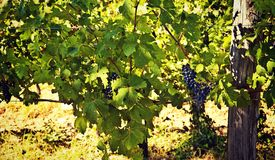 Nature and agriculture, vineyard. Vineyard in summer, grapes pending from plants Stock Images