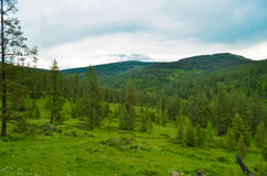 Nature of Altai. Green forest on the hills Royalty Free Stock Photos