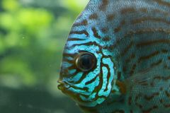 Discus fish royalty free stock image