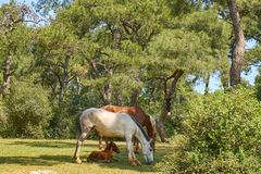 White and Brown Horses Eating Grass royalty free stock photography