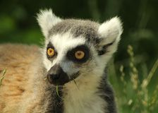 Head of a cute ring-tailed lemur