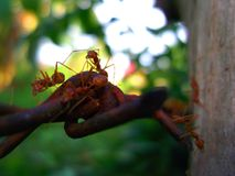 The nature of ants. Teamwork of ants. Royalty Free Stock Photography