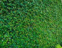 Nature and architecture. Building covered by decorative ivy, mixing nature and modernity royalty free stock photos