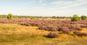 Nature area with purple flowering heather Royalty Free Stock Photo