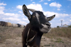 Nature. Artful black and white goat in a vacant lot near the railway line Royalty Free Stock Image