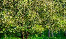 Nature au printemps, pommier de floraison image stock