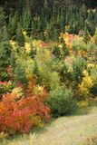 Nature in Autumn. Teton autumn foliage bursts forth in its myriad colors royalty free stock images