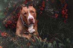 Nature Autumn Animals Leaves Dogs Iron Pitbull royalty free stock photo