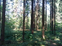 Nature Autumn Forest Tall Trees trail . Green Sunlight Wood. Nature forest tall trees trail Royalty Free Stock Photo