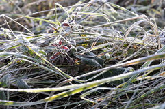 Nature in autumn. Frost on the grass. Nature in autumn, Ukraine. Beautiful sunny morning with frost on the grass royalty free stock photography