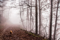 Nature Autumn Misty Forest Landscape. Dog Walking in the  Misty Forest Royalty Free Stock Photo