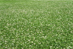 Nature background. The little white clover hibiscus flower royalty free stock photography