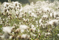 Nature background. Burdock in sun light Royalty Free Stock Image