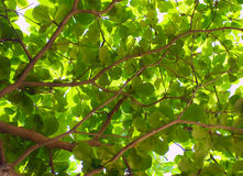Nature background. Green nature background. Tropical tree Stock Photo
