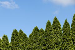 Nature background. Arborvitae and blue sky as a background Stock Images