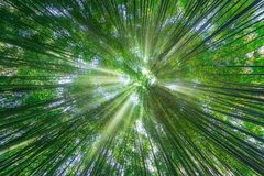 Nature background of bamboo forest. With sun rays royalty free stock image