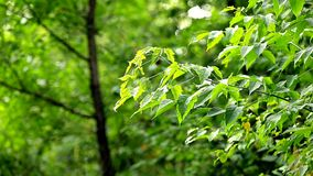 Nature background. Beautiful green leaves on a tree, closeup stock video