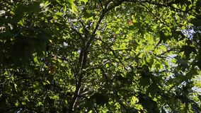 Nature background. Beautiful Sun shine through the blowing on wind tree green leaves. Blurred abstract bokeh with sun. Flare stock video footage