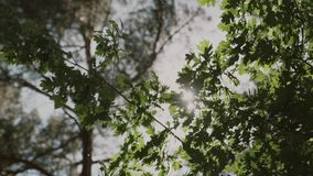 Nature background. Beautiful Sun shine through the blowing on wind tree green leaves. Blurred abstract bokeh with sun flare. Sunlight. Sunflare stock video footage