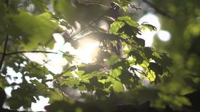 Nature background. Beautiful Sun shine through the blowing on wind tree green leaves. Blurred abstract bokeh with sun. Flare. Sunlight. Sunflare. Slow motion stock video footage