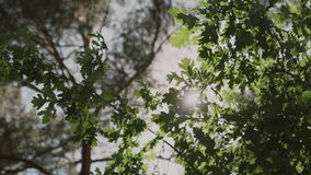 Nature background. Beautiful Sun shine through the blowing on wind tree green leaves,slow motion. Nature background. Beautiful Sun shine through the blowing on stock video