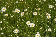 Nature background with blossoming daisy flowers close up in sunny day. stock photography
