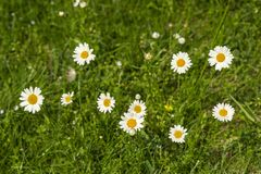 Nature background with blossoming daisy flowers close up in sunny day. stock image