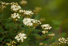 Nature background with branches of white spirea. Floral nature background with branches of white spirea Stock Image