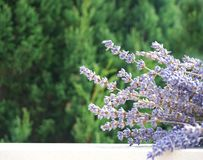 Nature background. A bunch of lavender in the background of the foreground of the tree crown, selective focus. Lavandula officinalis royalty free stock images