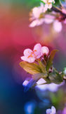 Nature background. Cherry twig in bloom. Royalty Free Stock Photography