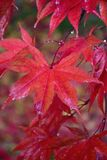Nature background of colorful Maple leaves drenched in rain water Royalty Free Stock Photography