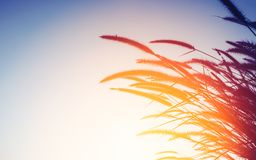 Nature background concept - silhouette of grass flower in sunset. Light royalty free stock photography
