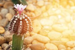 Small cactus blooming flower in cactus garden Stock Photo